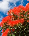 Pohutukawa - New Zealand's Christmas Tree