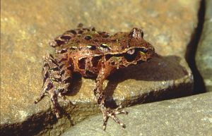 Archey's Frog